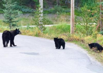 Ours noirs Canada Parc national de Jasper Lac Maligne
