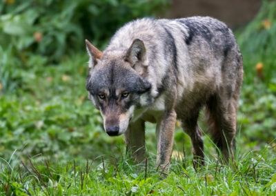 Loup gris d'Europe