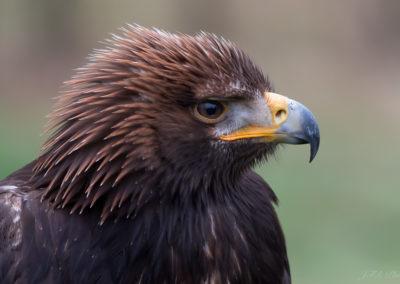 Aigle royal juvénile