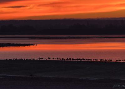 Grues cendrées et lever du jour sur le Lac du Der
